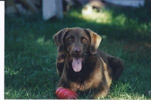 Our beloved Chesapeake Bay Retriever, Hunter
