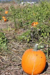 Jumbo's Pumpkin Patch - More Than Just Pumpkins