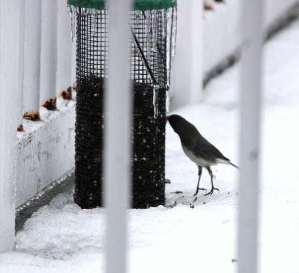 This bird had to stand on its tip toes to get some bird seed.