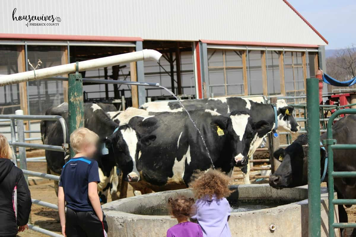 Cows, Ice Cream & More at South Mountain Creamery