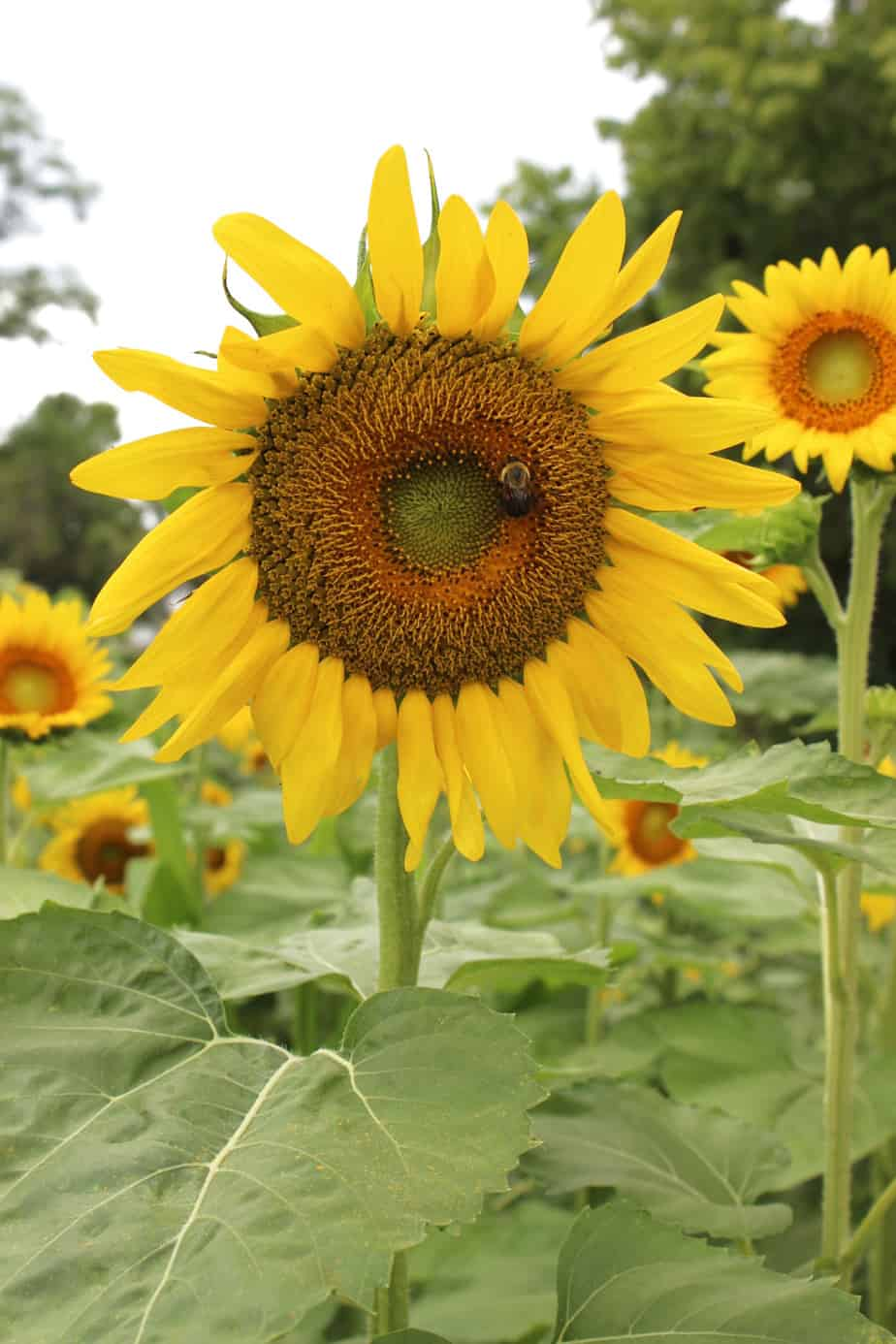 Sunflowers at Valley View Acres: Scenic Views in Middletown, Md
