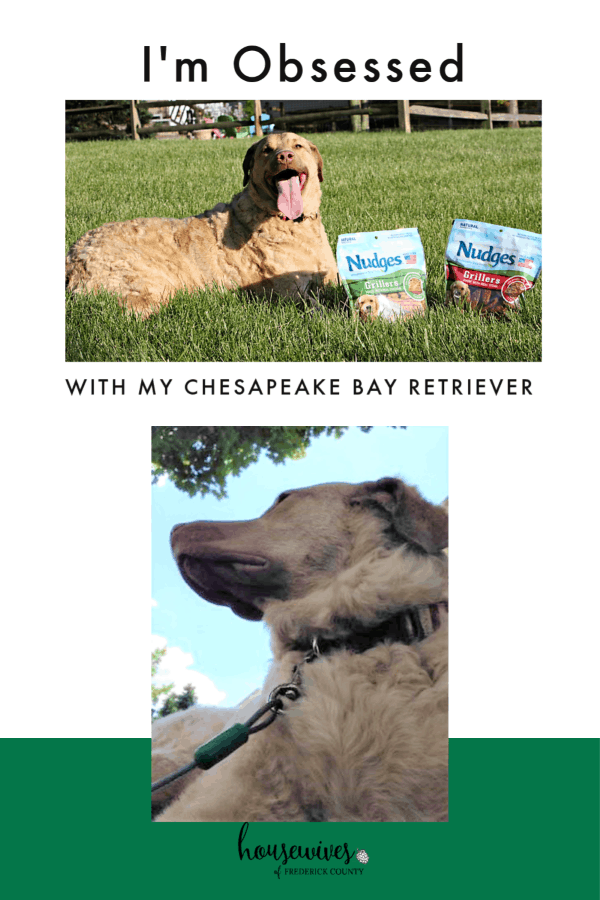 I'm Obsessed With My Chesapeake Bay Retriever!