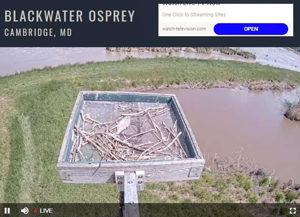 Blackwater National Wildlife Refuge Osprey Nest