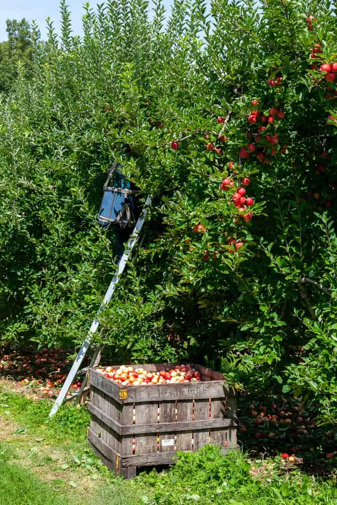 9 Best Apple Picking Farms in the Frederick, Md Area