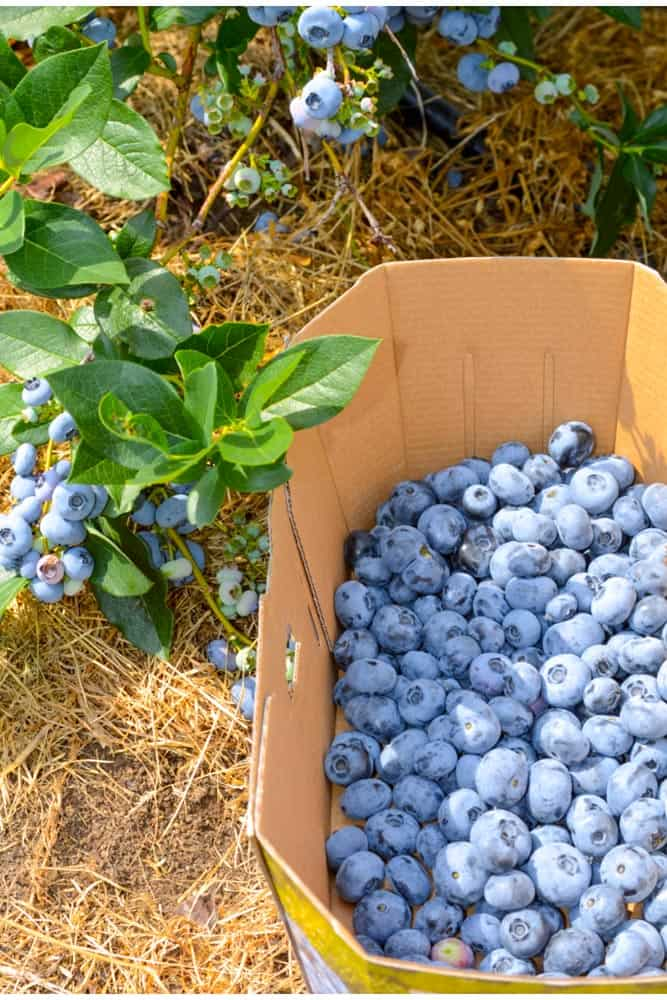 Blueberry Picking in Frederick Md